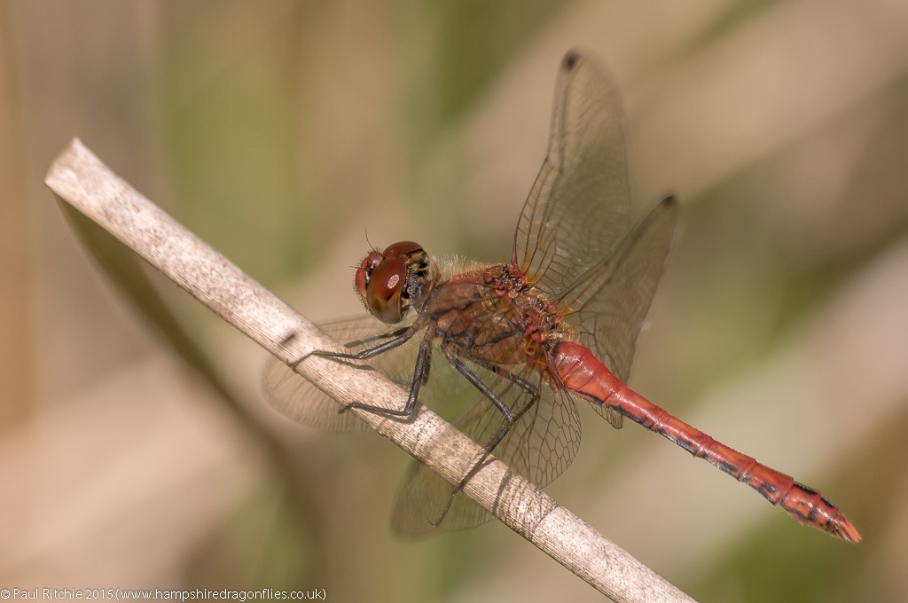 Ruddy Darter - male