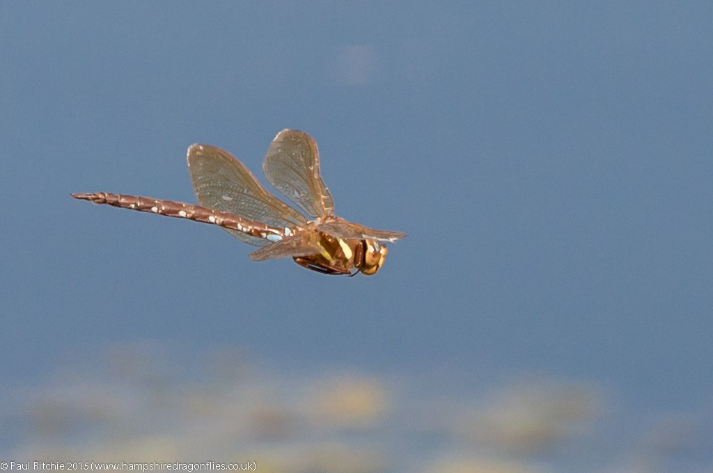 Brown Hawker - male in-flight