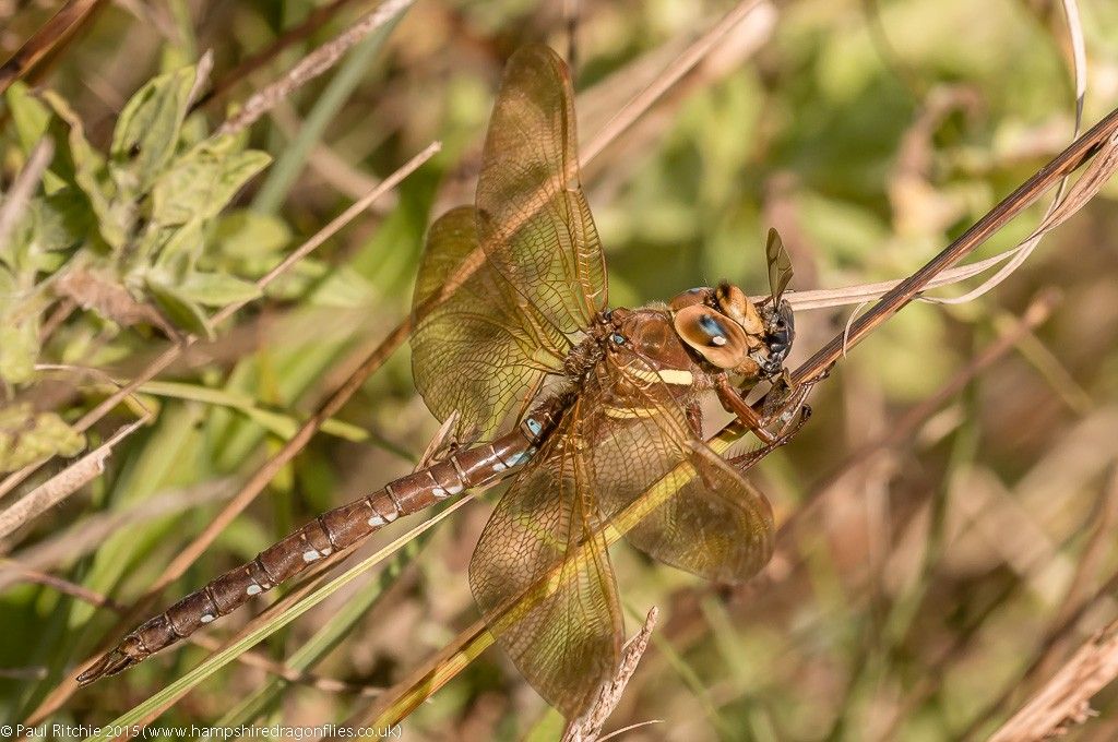 Brown Hawker - male feeding