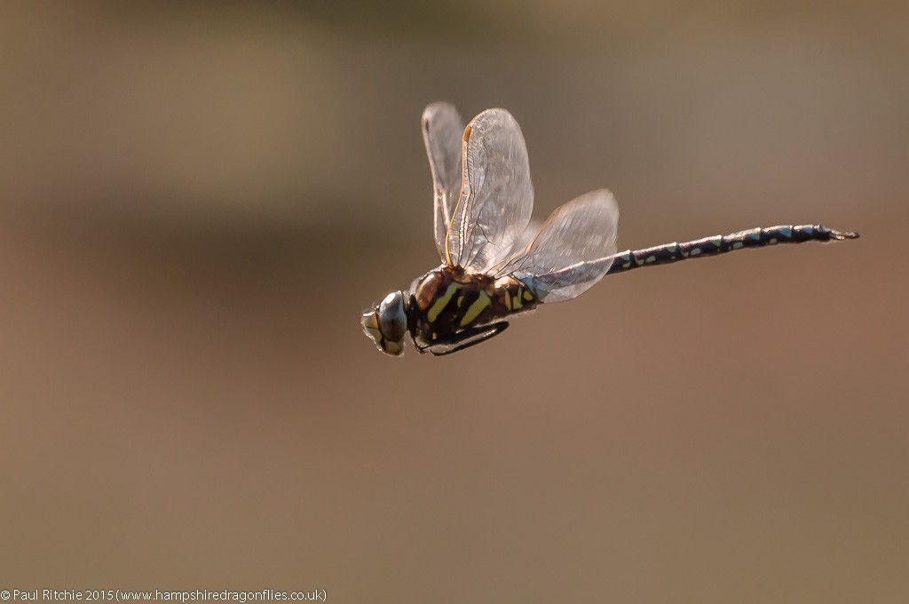 Moorland (Common) Hawker - male in-flight