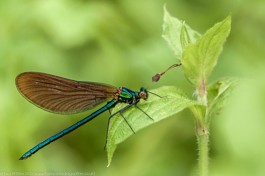 Beautiful Demoiselle (Calopteryx virgo) – Immature male