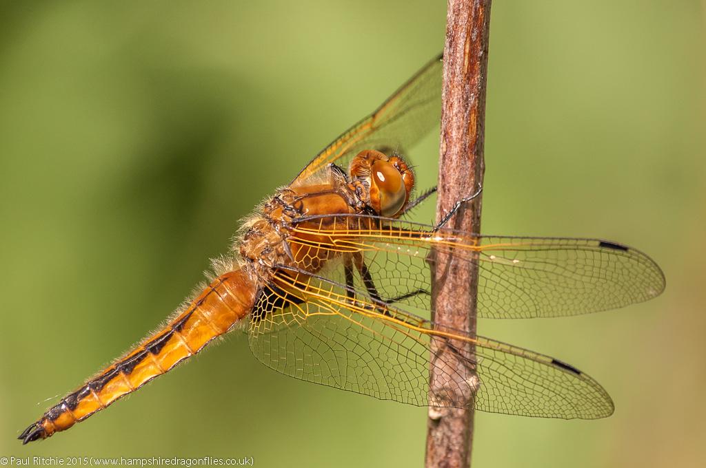 Scarce Chaser (Libellula fulva) – immature male