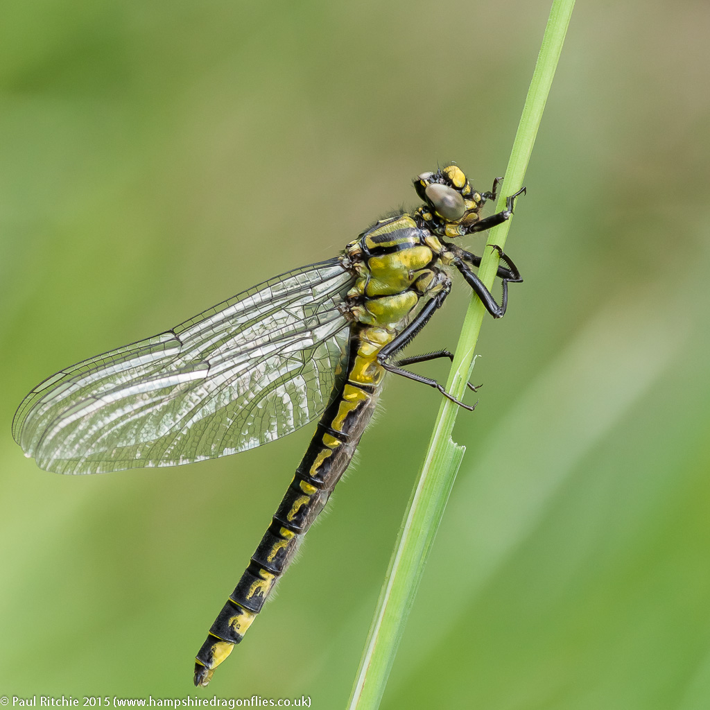Common Club-tail (Gomphus vulgatissimus) - teneral female