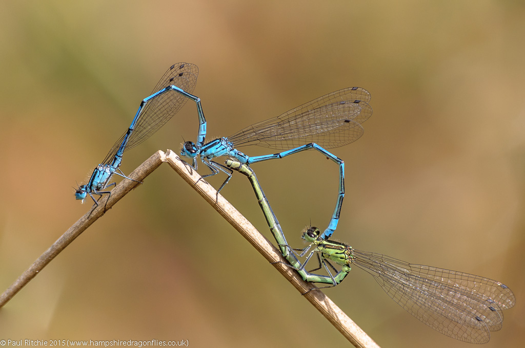 Azure Damselflies (Coenagrion puella) - two males and a female