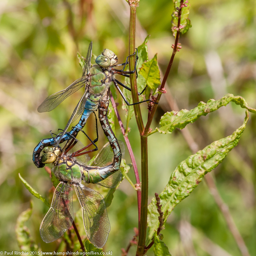 Emperor (Anax imperator)  - Pair in cop
