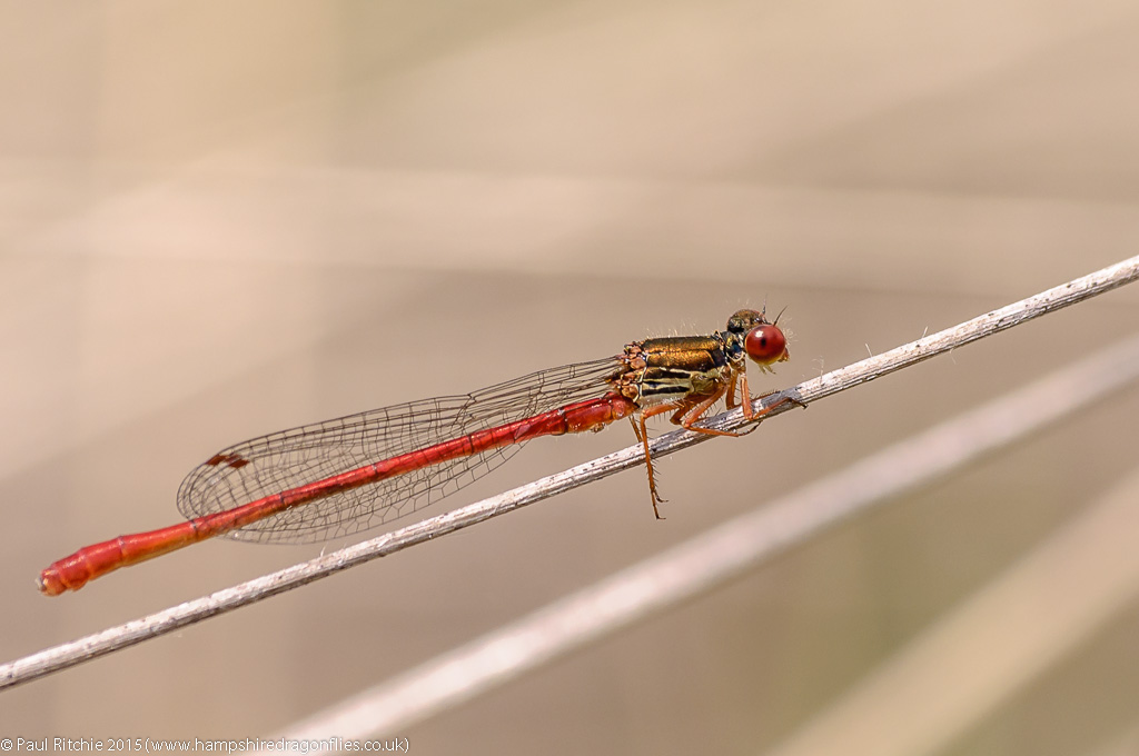 Small Red (Ceriagrion tenellum) - male
