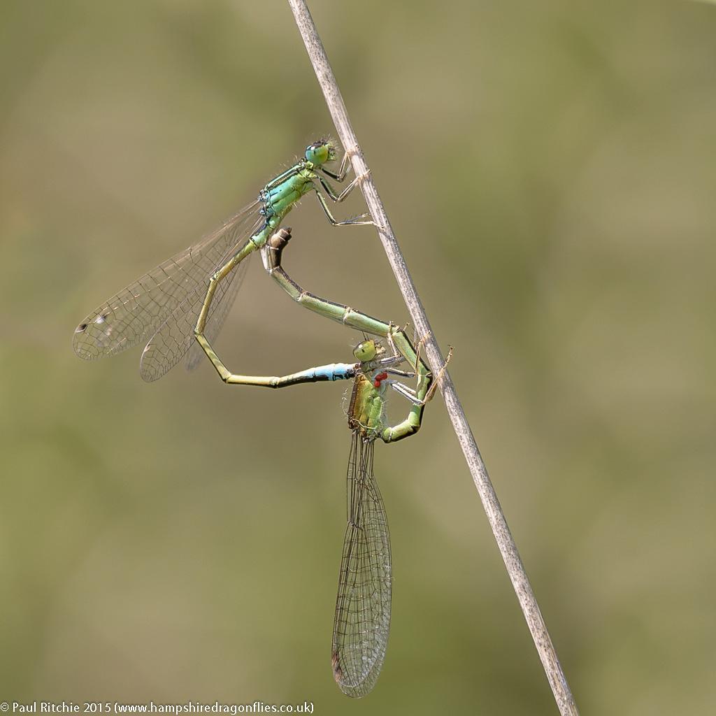 Scarce Blue-tailed (Ischnura pumilio) - pair in cop