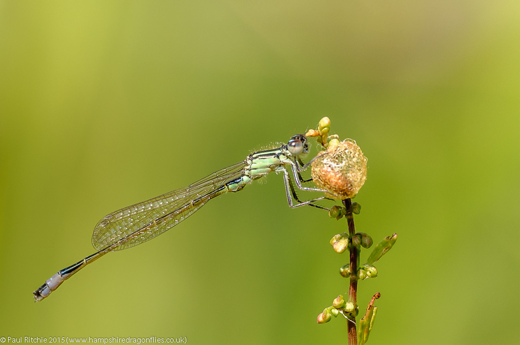 Blue-tailed damselfly (Ischnura elegans) – male