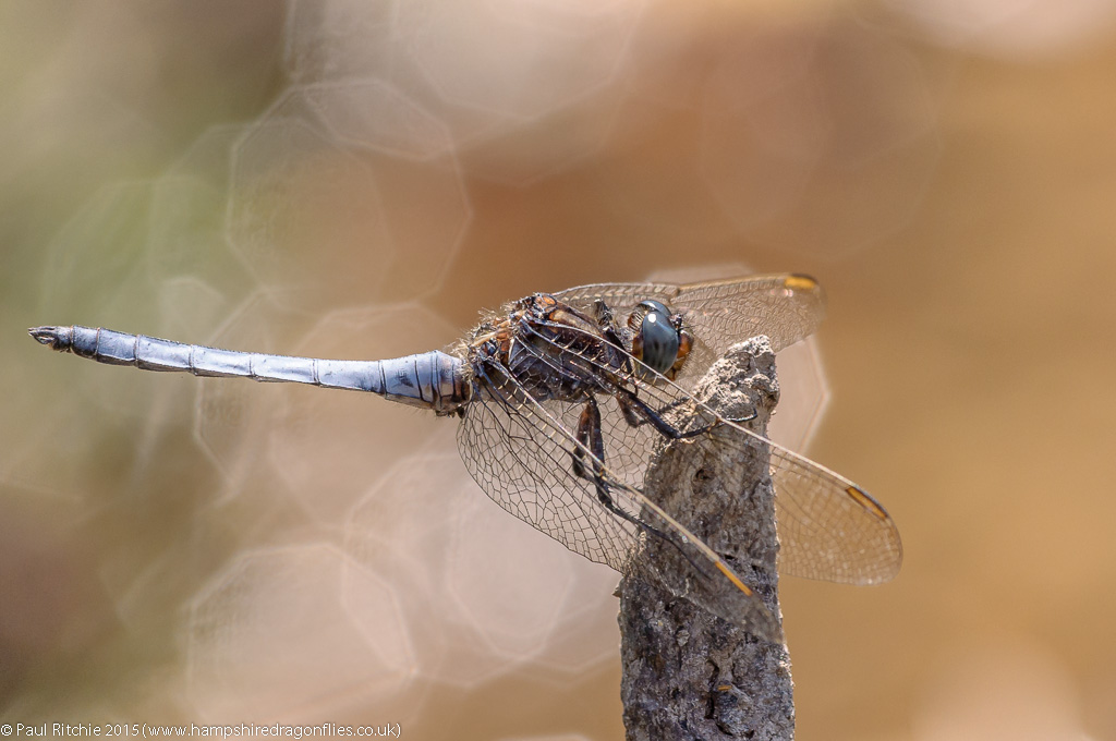 Keeled Skimmer (Orthetrum coerulescens) - male