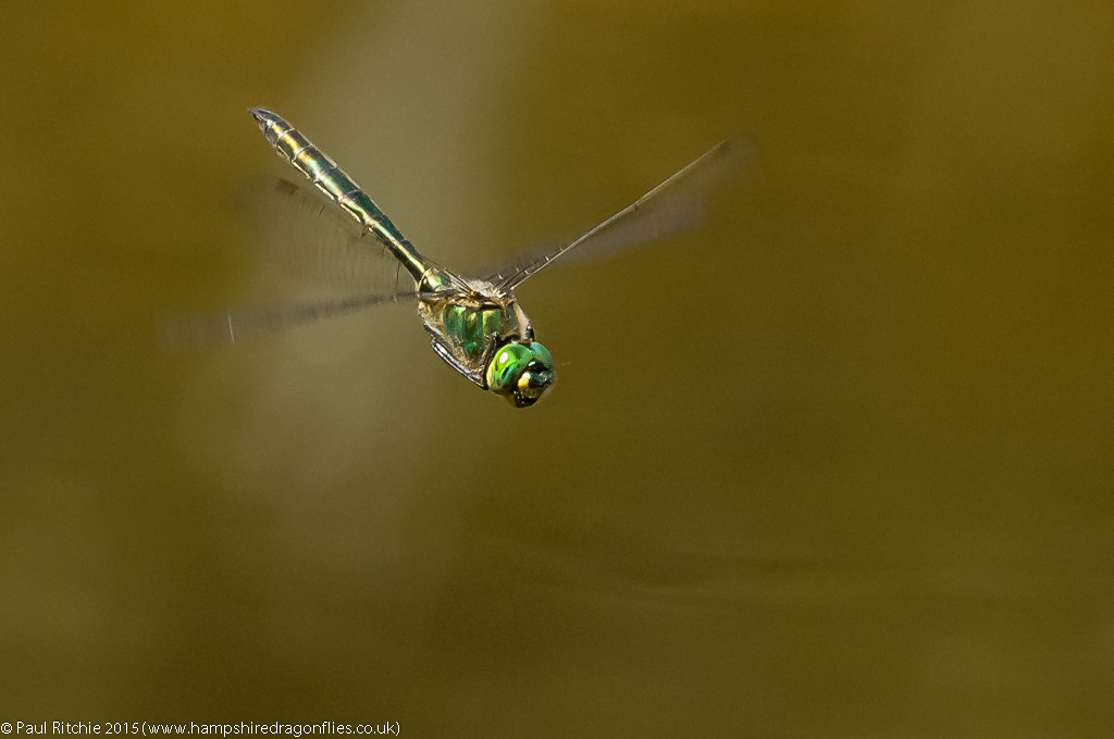 Brilliant Emerald (Somatochlora metallica) - male in-flight