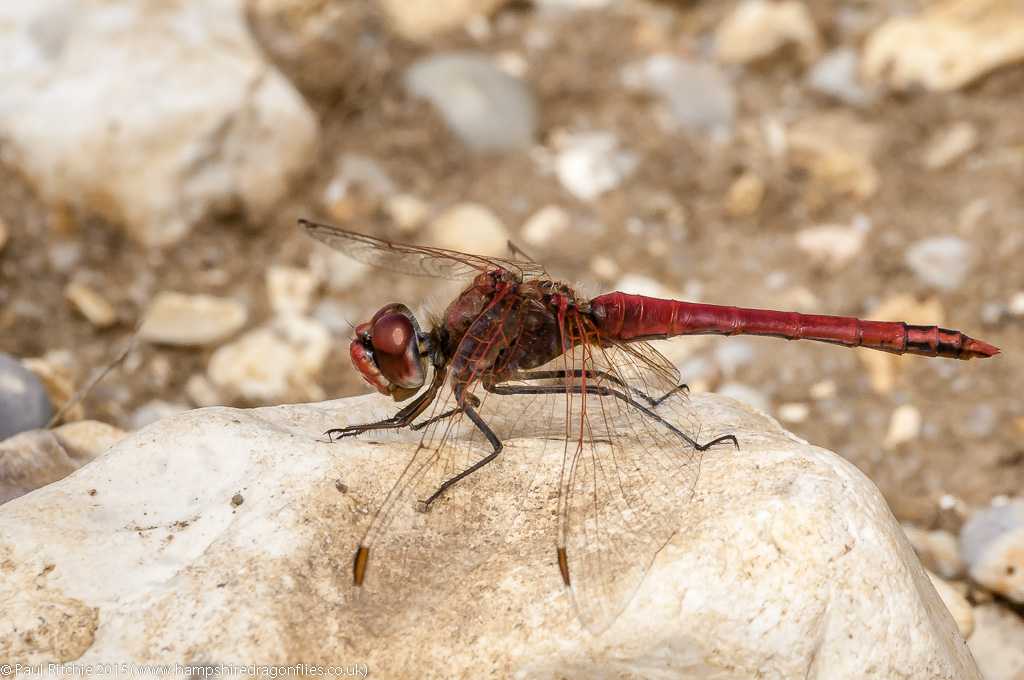 Red-veined Darter (Sympetrum fonscolombii) - male
