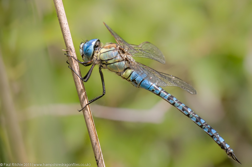 Blue-eyed Hawker (Aeshna affinis) - male