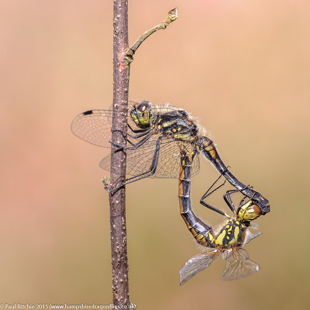 Black Darter (Sympetrum danae)  - pair in cop