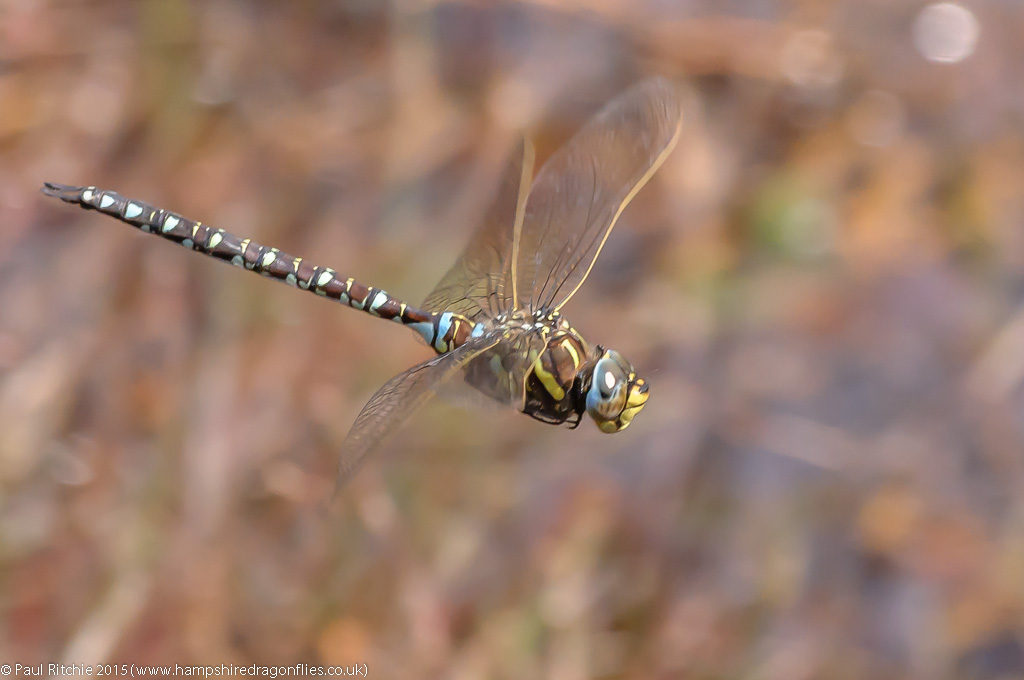 Moorland Hawker (Aeshna juncea) - male in-flight