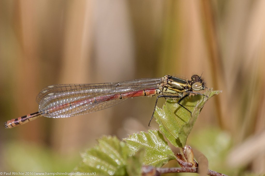 Large Red Damselfly (Pyrrhosoma nymphula) - teneral