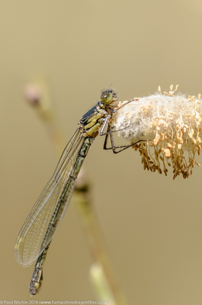 Red-eyed Damselfly (Erythromma najas) - immature female