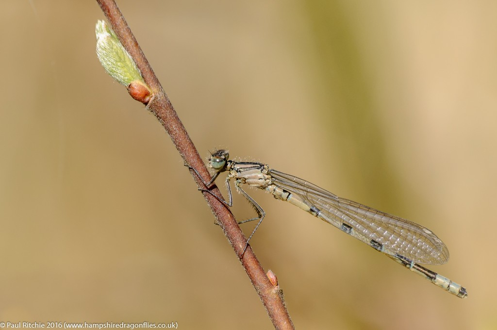 Common Blue ((Enallagma cyathigerum) - immature male