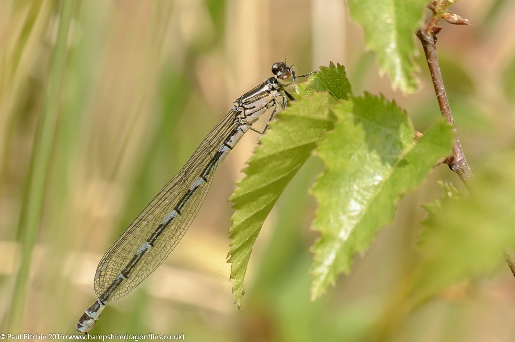 Azure (Coenagrion puella) - immature female
