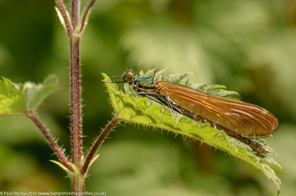 Beautiful Demoiselle (Calopteryx virgo) - immature female
