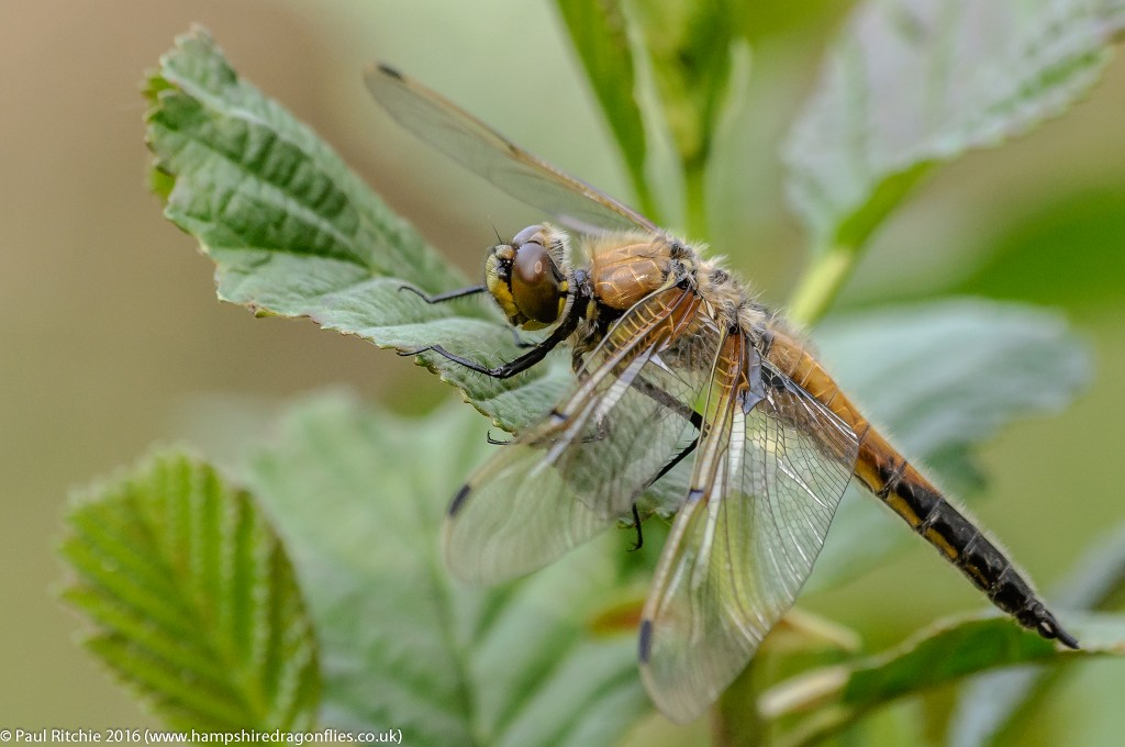 Four-spotted Chaser (Libellula quadrimaculata) - immature male