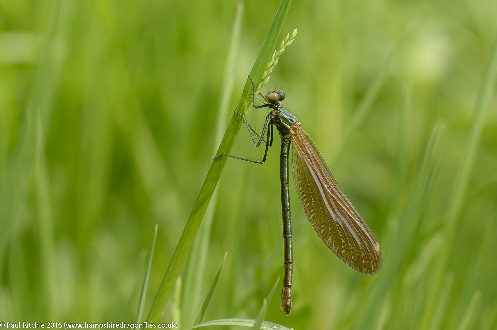 Beautiful Demoiselle (Calopteryx virgo) - teneral female