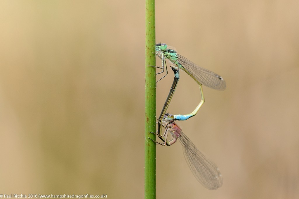 Blue-tailed Damselflies (Ischnura elegans) - pair in cop