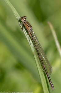 Variable Damselfly (Coenagrion pulchellum) - immature female