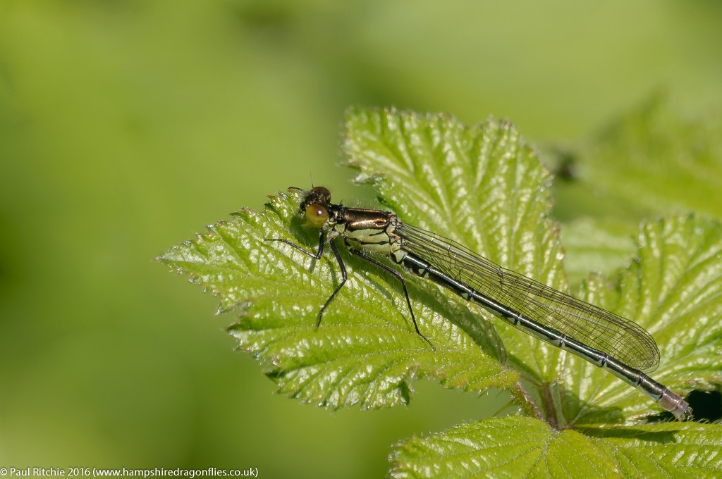 Red-eyed Damselfly (Erythromma najas) - immature male