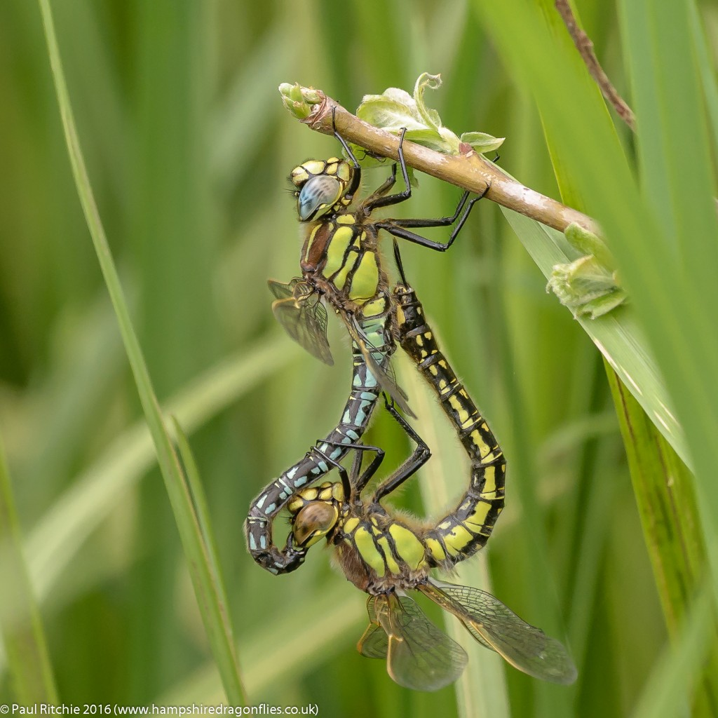 Hairy Dragonflies (Brachytron pratense) - pair in cop