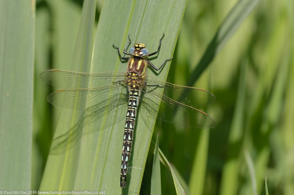 Hairy Dragonfly (Brachytron pratense) - male