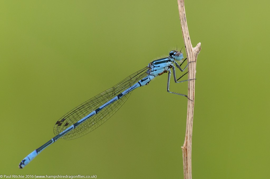 Azure Damselfly (Coenagrion puella) - male