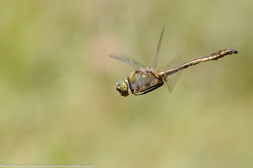 Downy Emerald (Cordulia aenea) - male in-flight