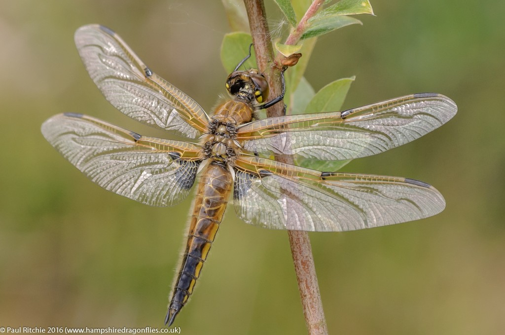Four-spotted Chaser  (Libellula quadrimaculata) - teneral female)