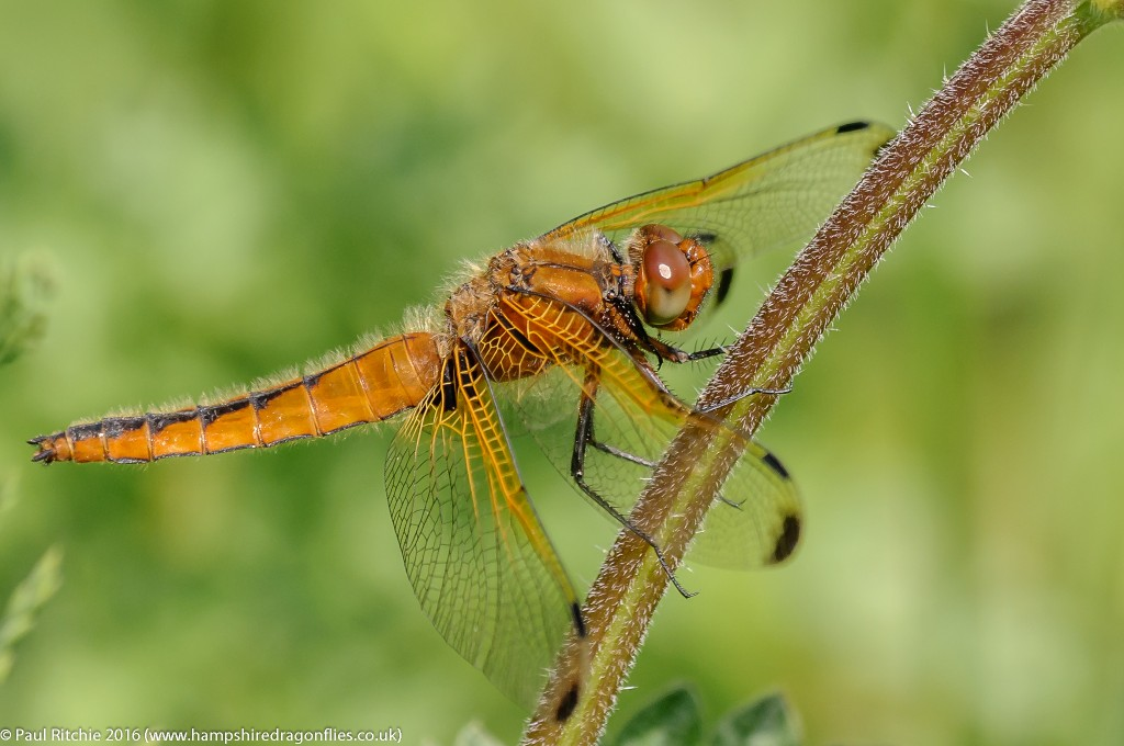 Scarce Chaser (Libelulla fulva) - immature female