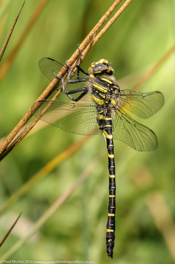 Golden-ringed Dragonfly (Cordulegaster boltonii) - immature male