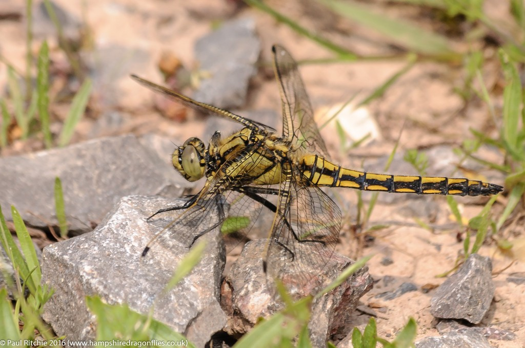 Black-tailed Skimmer  (Orthetrum cancellatum) - immature female