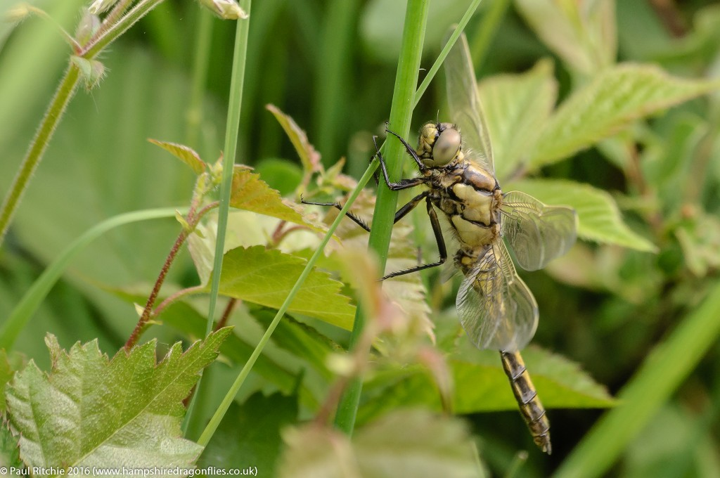 Black-tailed Skimmer (Orthetrum cancellatum) - immature male
