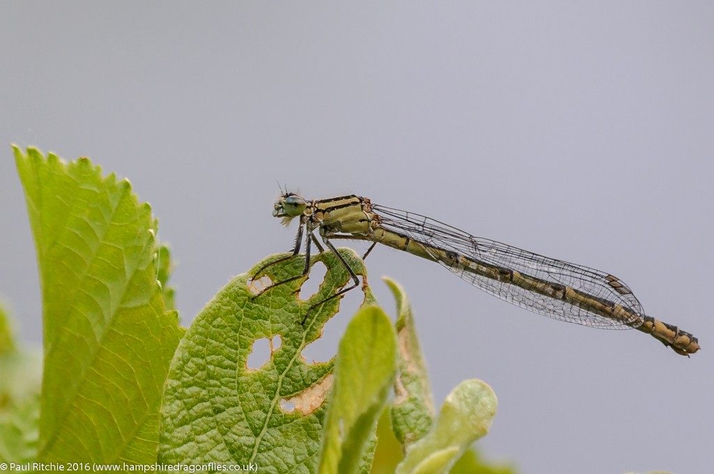 Common Blue Damselfly  (Enallagma cyathigerum) - immature female