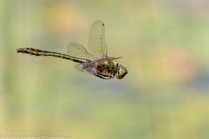 Downy Emerald (Cordulia aenea) - male in-flight