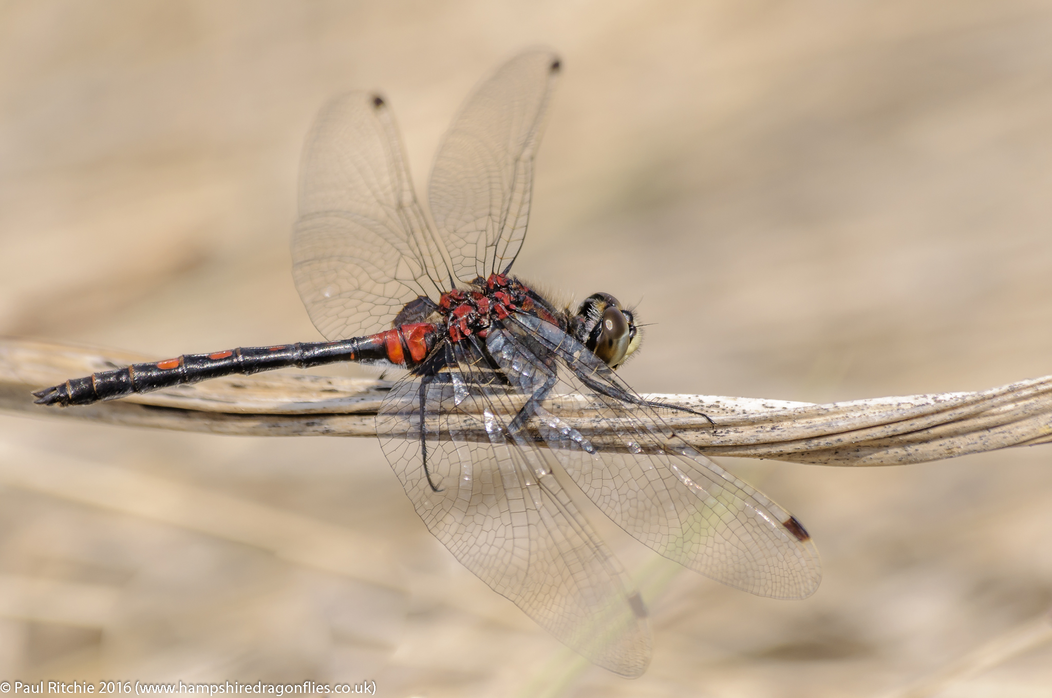 White-faced Darter (Leucorrhinia dubia) – male