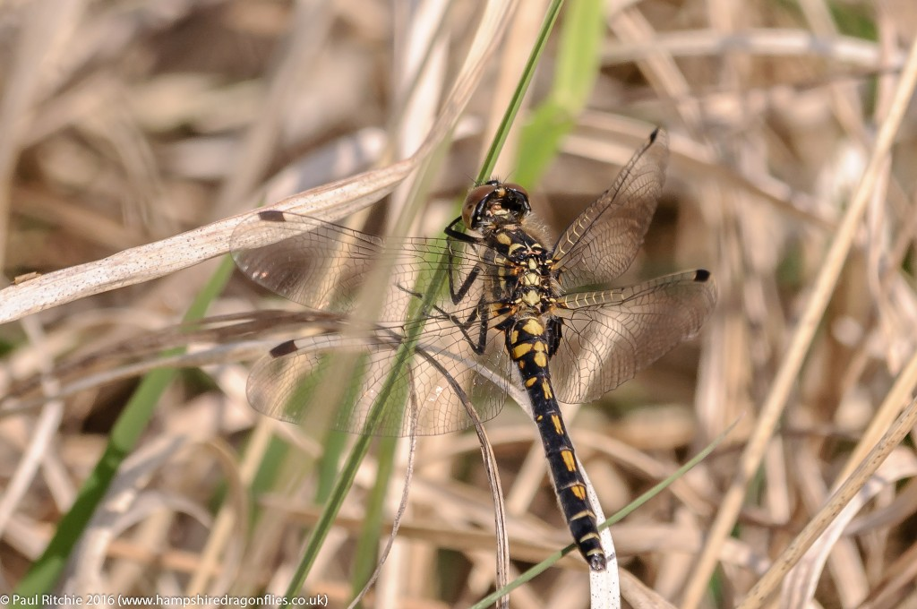 White-faced Darter (Leucorrhinia dubia) - female