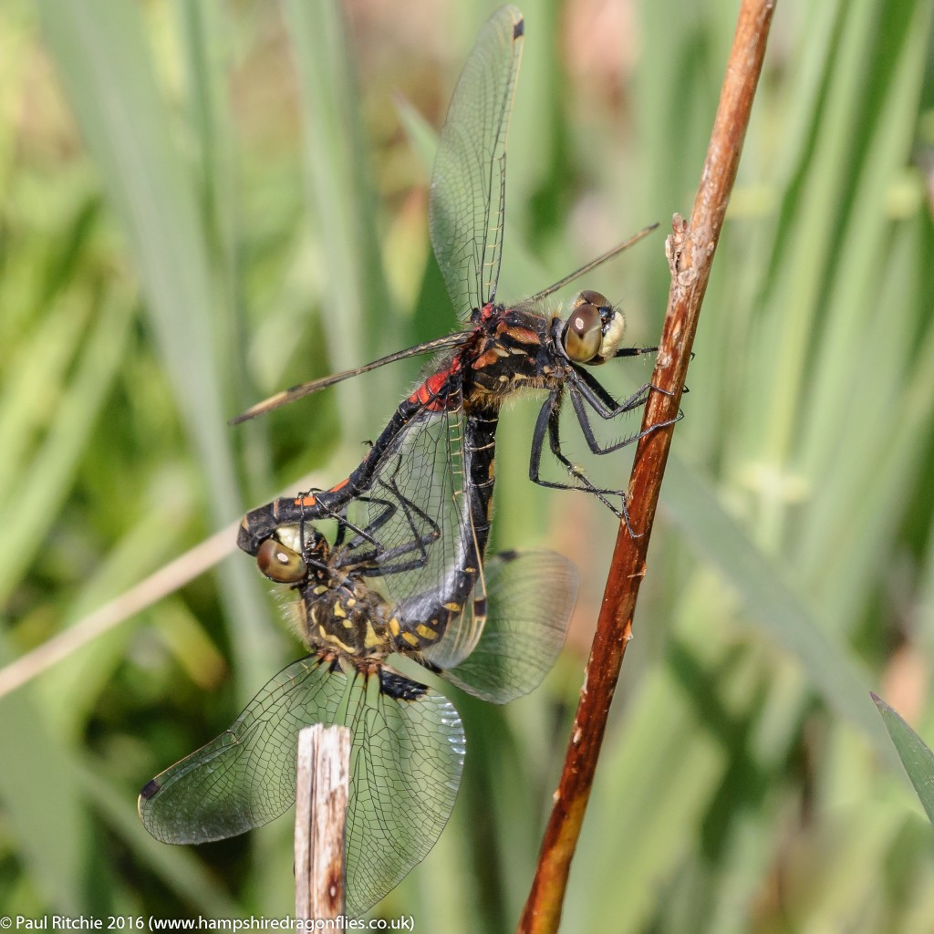 White-faced Darter (Leucorrhinia dubia) - pair in-cop