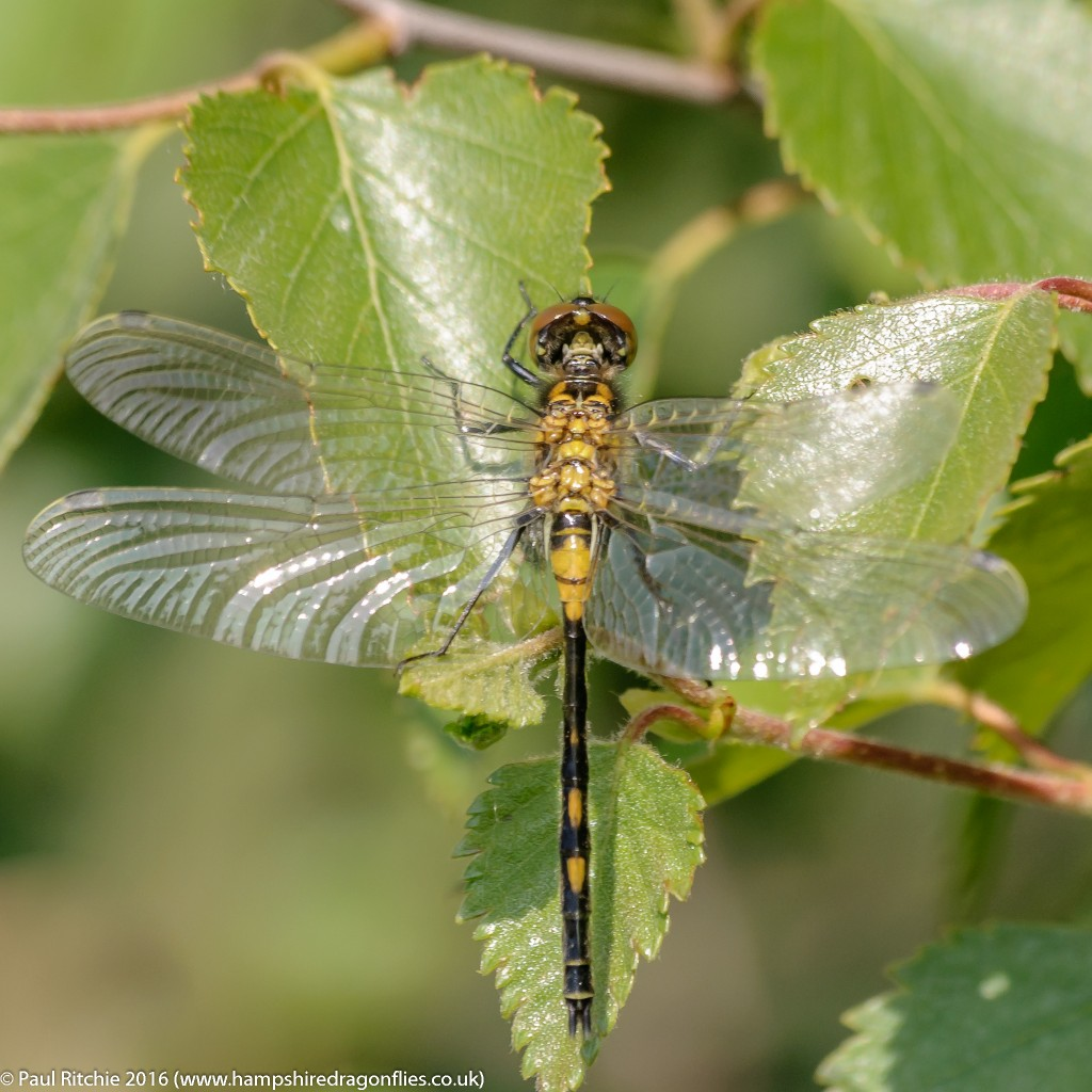 White-faced Darter  (Leucorrhinia dubia) - teneral male