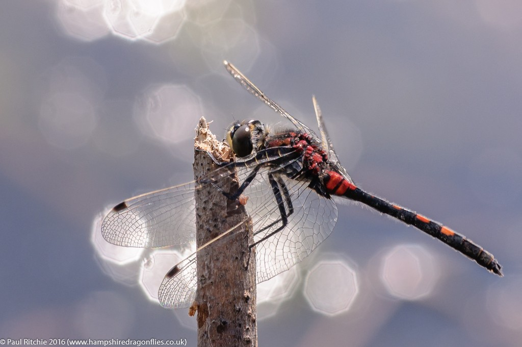 White-faced Darter  (Leucorrhinia dubia) - male