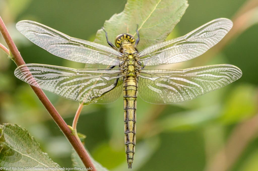 Black-tailed Skimmer (Orthetrum cancellatum) - teneral male