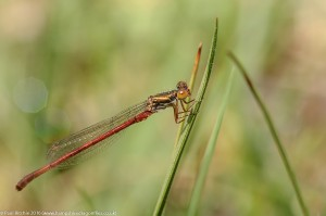 Small Red Damsefly (Ceriagrion tenellum) - male