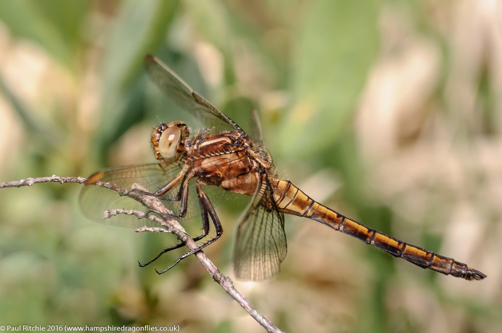 Keeled Skimmer (Orthetrum coerulescens) - immature male
