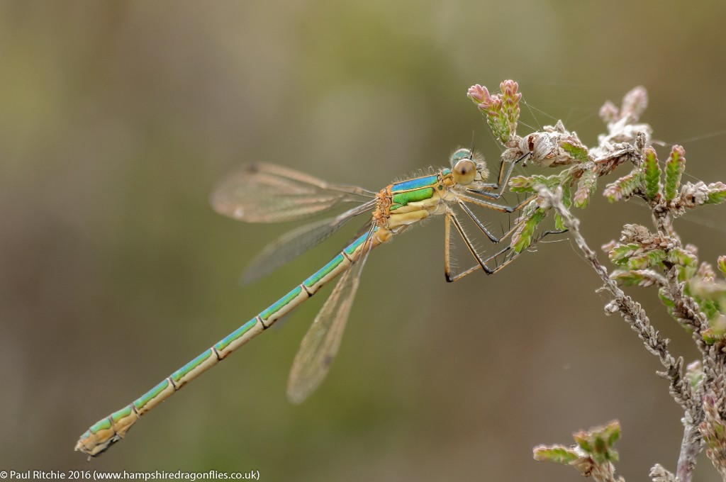 Common Emerald (Lestes sponsa) - immature female