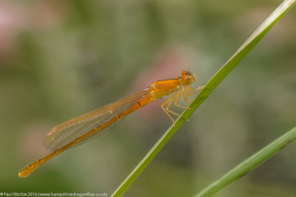 Scarce Blue-tailed (Ischnura pumilio) - imm female aurantiaca phase