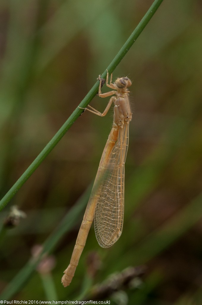 Scarce Blue-tailed (Ischnura pumilio) - freshly-emerged female